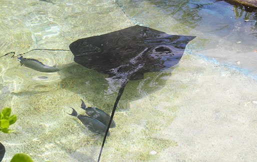 Swimming with Rays in Oahu